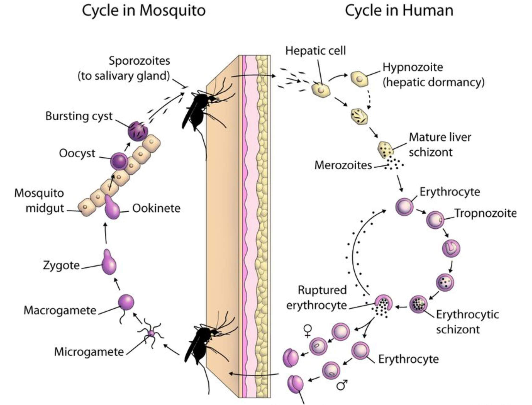 Malarial fever and its yurvedic management namah journal types of malaria pooptronica Image collections